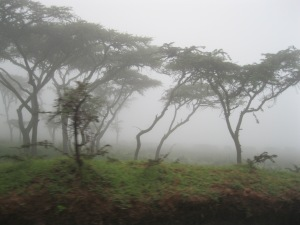 Trees cloaked in fog as we descend into Ngorongoro Crater