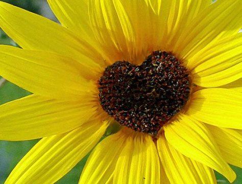 sunflower-hearts-sunflower-garden
