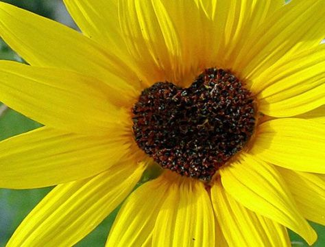 sunflower-hearts-sunflower-garden